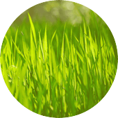 forage grasses