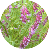 Winter vetch